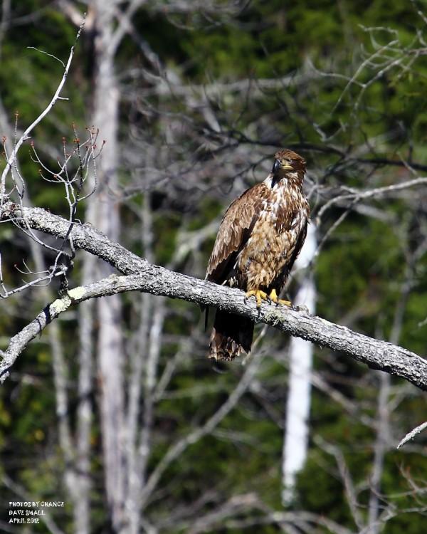 A juvenile American bald eagle.