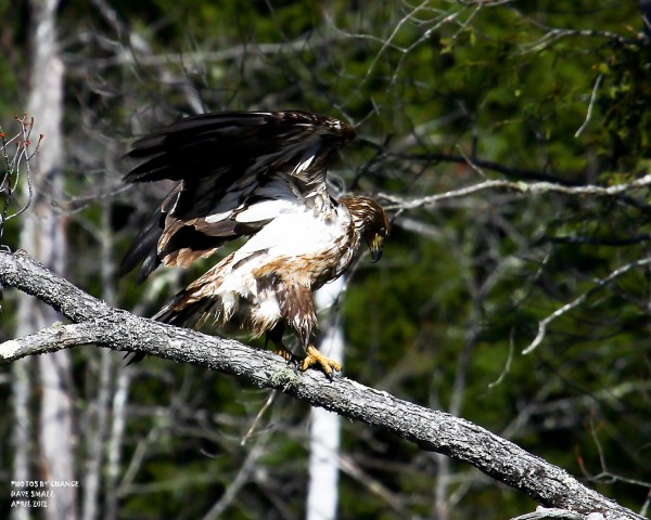 Juvenile American bald eagle.