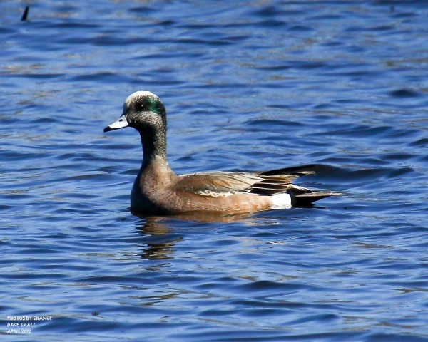 A distinguished-looking American wigeon.