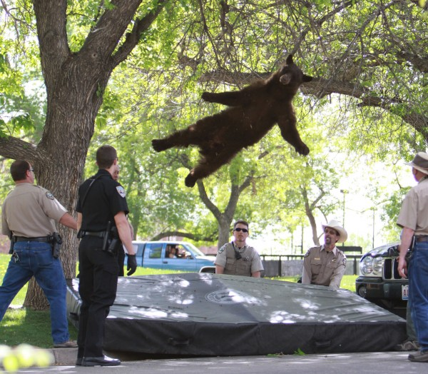 This Thursday, April 26, 2012 photo provided by the CU Independent shows a bear that wandered into the University of Colorado Boulder, Colo., dorm complex Williams Village falling from a tree after being tranquilized by Colorado wildlife officials.