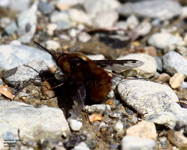 A bee fly.