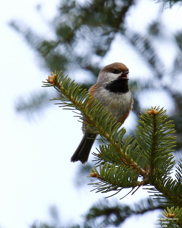 A boreal chickadee on Golden Road.