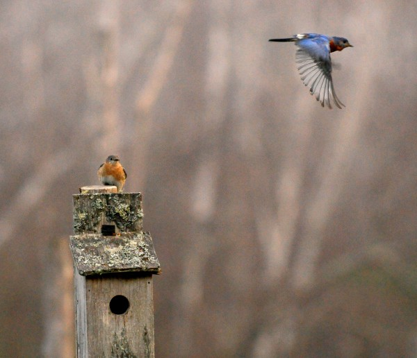 A male eastern bluebird flies by as a female eastern bluebird sits atop a bird box in Gabor Degre's backyard in Eddington on the cool, damp and foggy morning of April 11, 2012.