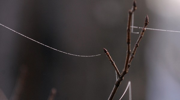 Spider web on maple buds in Gabor Degre's backyard in Eddington on the cool, damp and foggy morning of April 11, 2012.