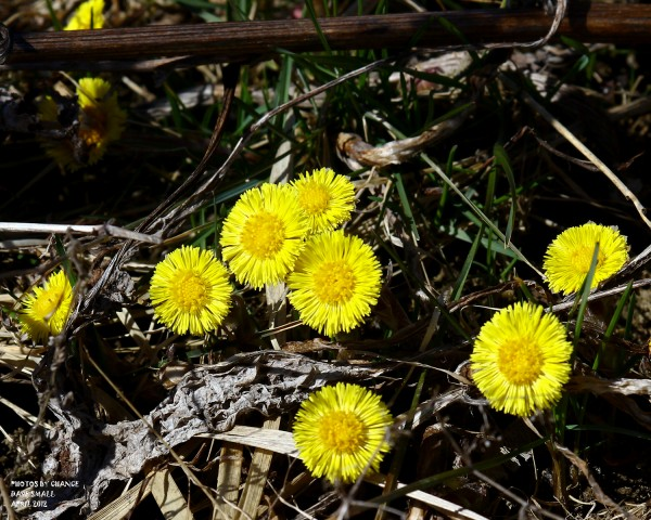 A splash of color on a dreary day: Coltsfoot.