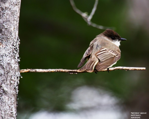 The first Eastern Phoebe of the season.