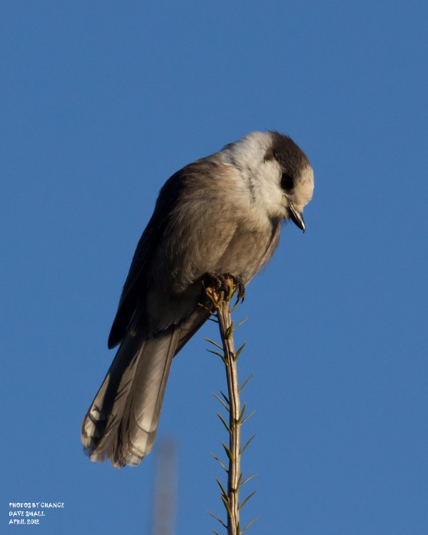 A gray jay takes a perch.