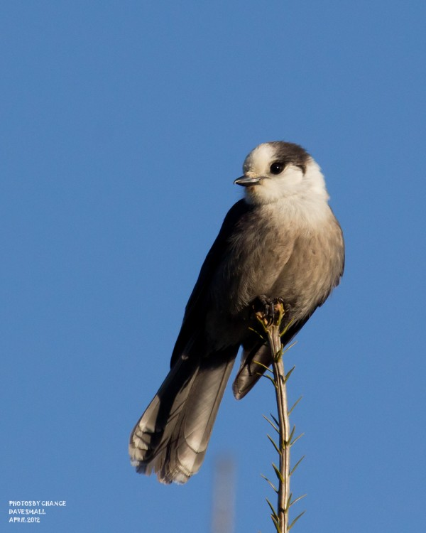 A gray jay looks around.