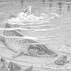 Drawing of a pike.