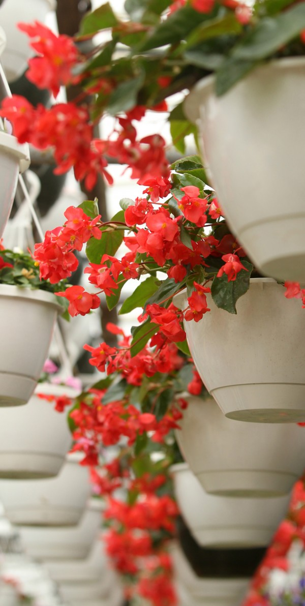 It can be hard to keep plants in hanging baskets thriving as the pots don't hold much water and hanging in the air causes them to dry out faster. But with good planning you can have success.