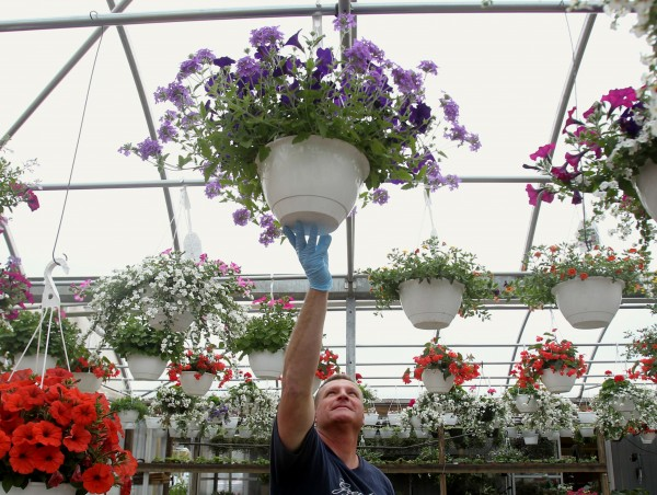 Pete Kern hangs a basket filled with flowers at Kern's Home and Garden in Akron, Ohio. It can be hard to keep plants in hanging baskets thriving as the pots don't hold much water and hanging in the air causes them to dry out faster. But with good planning you can have success.