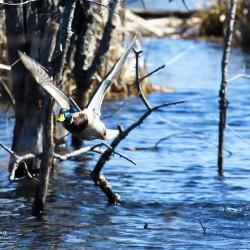 A mallard takes flight.