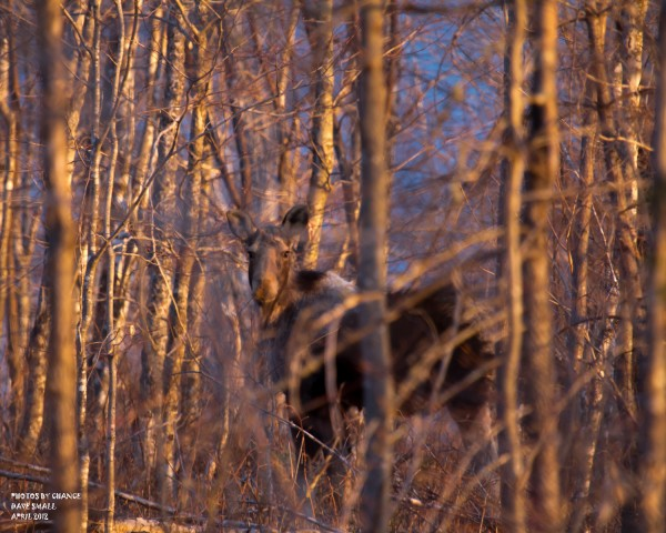 A moose is highlighted in the early morning light.
