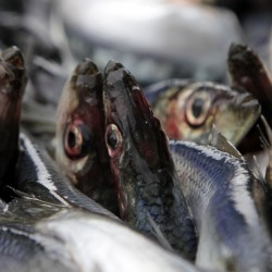 Fishermen sue to ban herring trawlers
