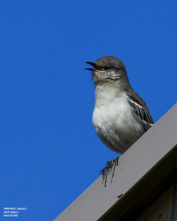 A northern mockingbird sings a song.