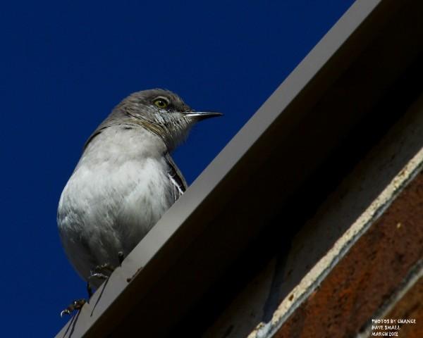 The northern mockingbird.
