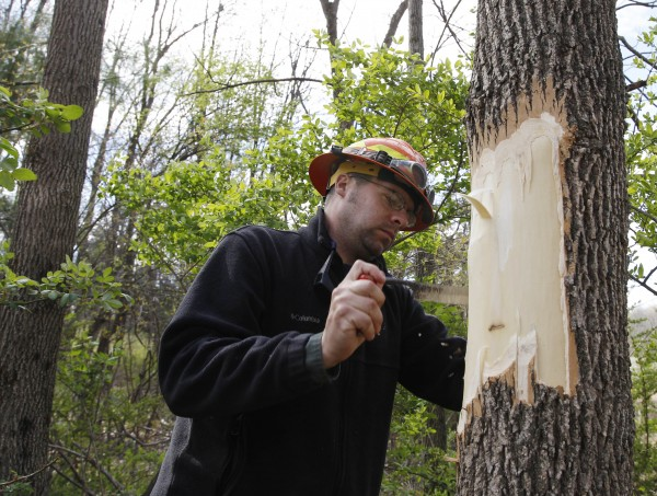 Bob Mackenzie, a forester at the U.S. Military Academy at West Point girdles an ash tree in Rhinebeck, N.Y., on Thursday, April 12, 2012. Workers will check the tree in the fall to see if it attracted the emerald ash borer.  The invasive beetle that has destroyed tens of millions of ash trees over the past decade has been found east of the Hudson River for the first time, marking its closest known threat to New England.  (AP Photo/Mike Groll)