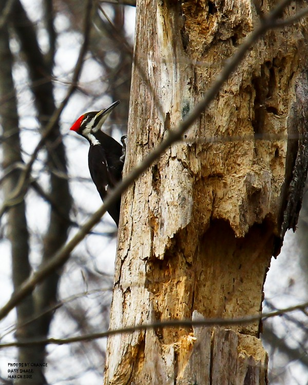 A pileated woodpecker goes about its business.