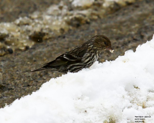 A pine siskin eats some snow.