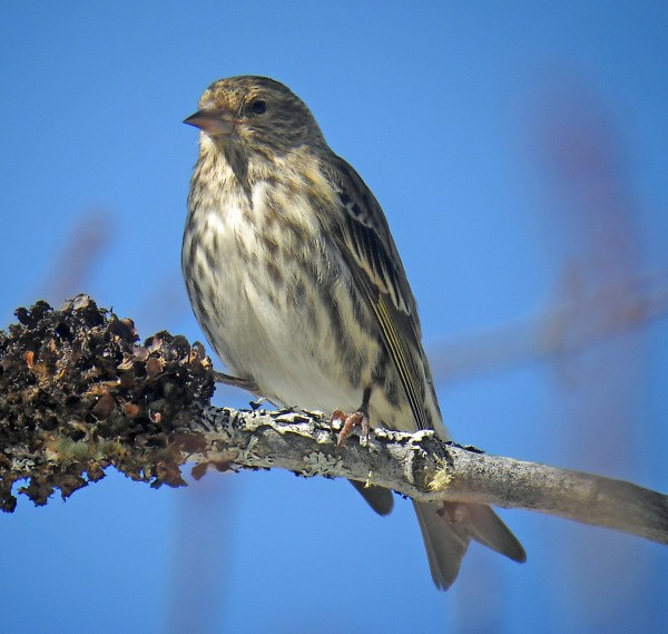 "Pine siskin like this one were plentiful during a recent ""Finch Fest"" birding trip on Golden Road."