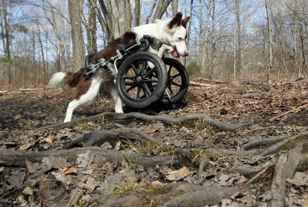 Roosevelt is barely slowed down by obstacles like roots. He often accompanies a group of mountain bikers on trips through the woods.