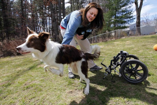 Roosevelt bounds away after being unstrapped from his wheels after a walk with his owner, Stephanie Fox.