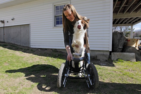 Katie Anderson, of Freeport, helps put Roosevelt into his wheels before heading out on a walk.