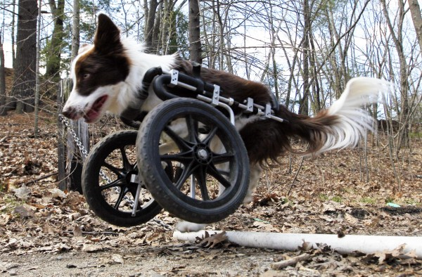 Roosevelt pops a wheelie to get over a pipe during a walk, Saturday, April 7, 2012, in Portland. The $900 custom-built cart compensates for his handicap. &quotIt's his front-wheel drive,&quot says his owner, Stephanie Fox.