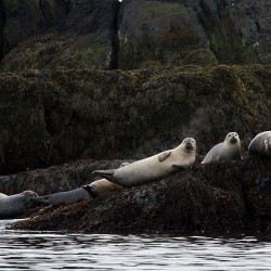 Harp seals from Canada take a liking to Maine waters