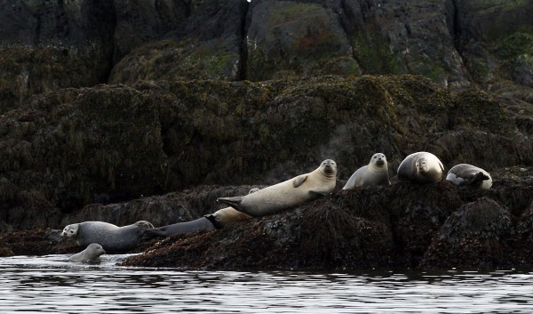 Harbor seals rest on a ledge off the coast of Camden in April 2011.
