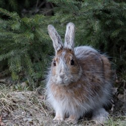 Snowshoe hare doesn't care