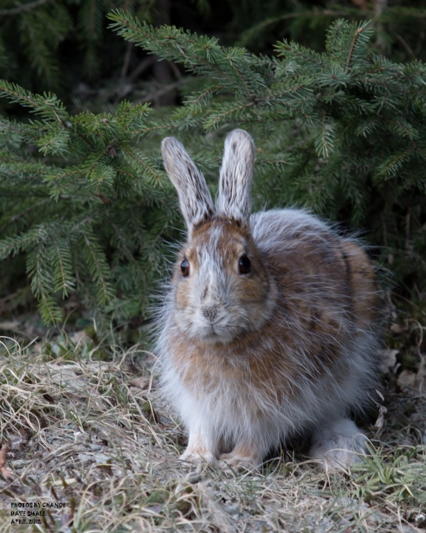 A snowshoe hare, caught between colors.