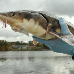 Atlantic sturgeon sighting cheers aquatic experts