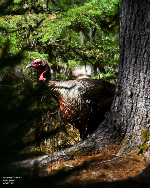 A wild turkey stalks by.
