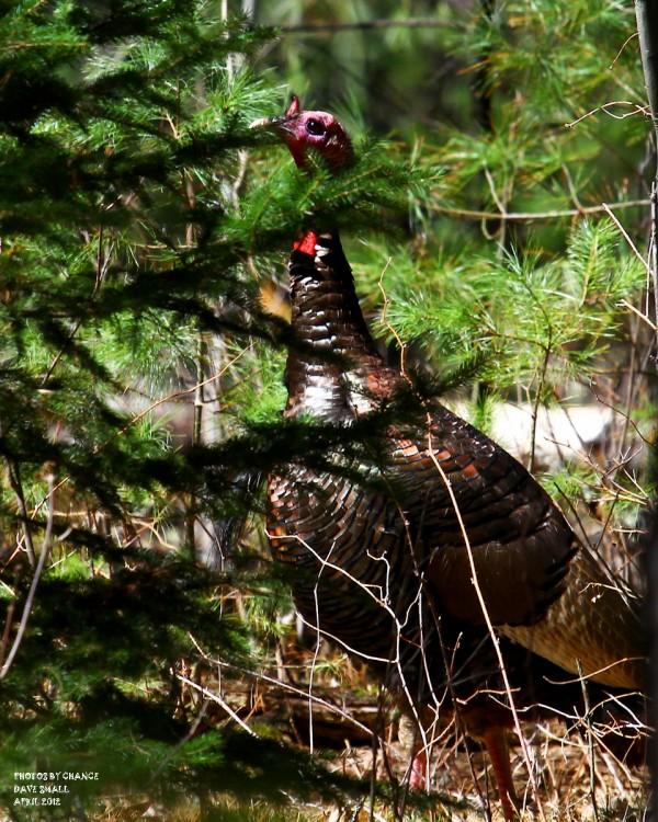 The parade of wild turkeys begins.
