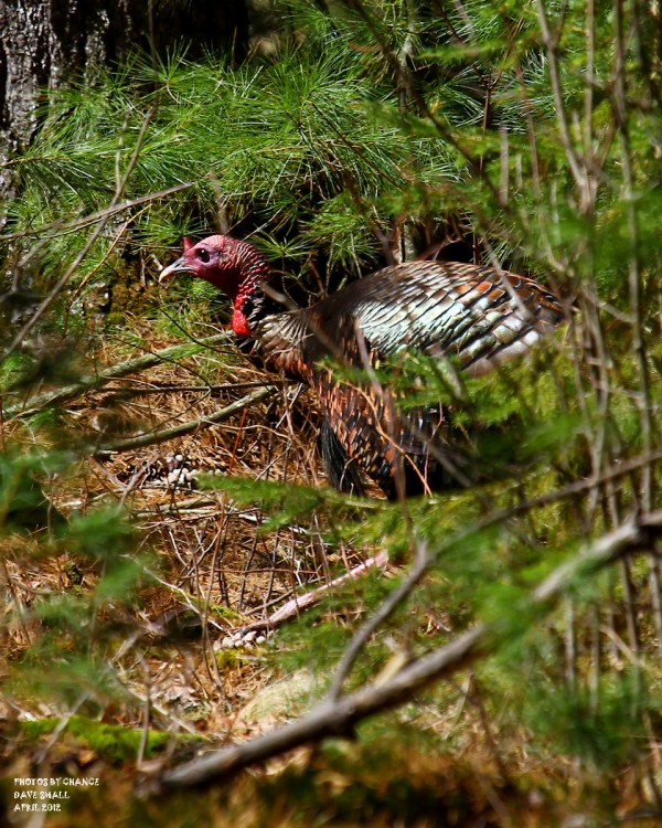 An unwary wild turkey.