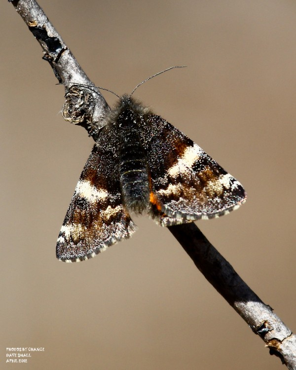 A day-flying moth known as &quotthe infant.&quot