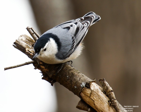 A white-breasted nuthatch.