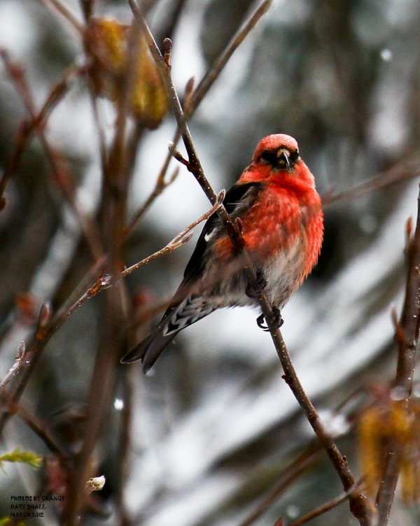 A personal first: Capturing a white-winged crossbill in a photo