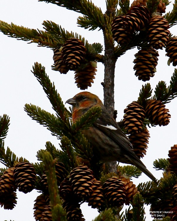 A white-winged crossbill.