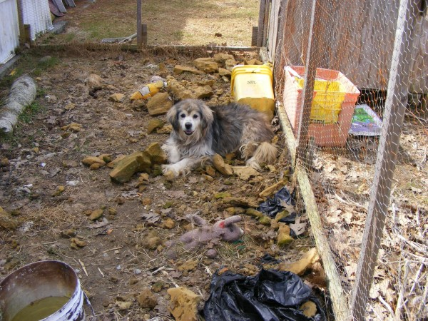One of two mixed breed dogs seized March 24 by the Knox County Sheriff's Office is pictured in its pen in Warren.