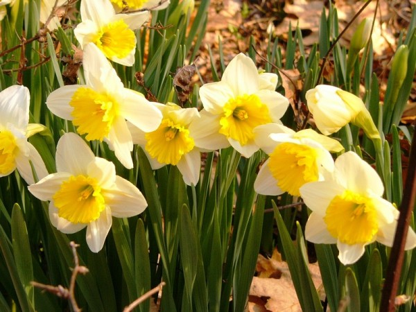 Bloomin&quot Daffodils!