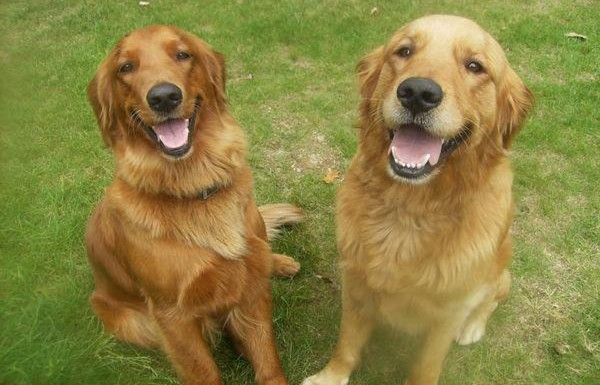 The Warren family's golden retrievers, Bella (left) and Jake.
