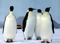 A new study has concluded that many more emperor penguin pairs exist than previously believed.