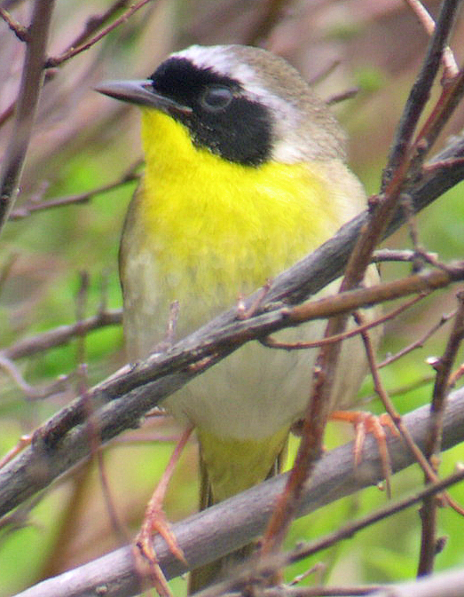 The common yellowthroat is one of the birds you'll have a good chance of seeing during some of the varied birding events scheduled for May.