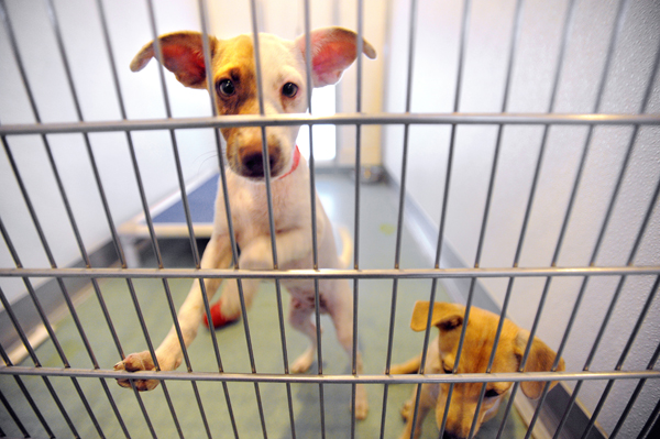 Two of the four dogs that arrived from Guam to the Hancock County's SPCA shelter in Trenton are seen recently. They are among the first four out of 12 dogs that the shelter has received and soon will offer for adoption.