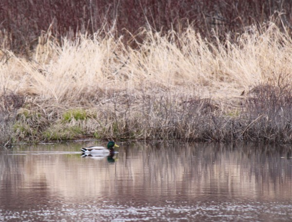 A mallard duck floats down Pushaw Stream in Hirundo Wildlife Refuge in Alton on April 5, 2012.