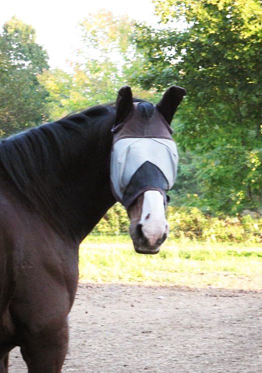 A variety of insects can make a horse's life miserable. Here, Henry at Wild Ivy Farm in Bangor wears a fly mask. Many visitors mistake the mask for a blindfold.