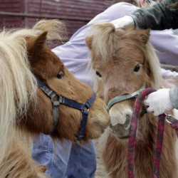 Miniature horses are perfect for some
