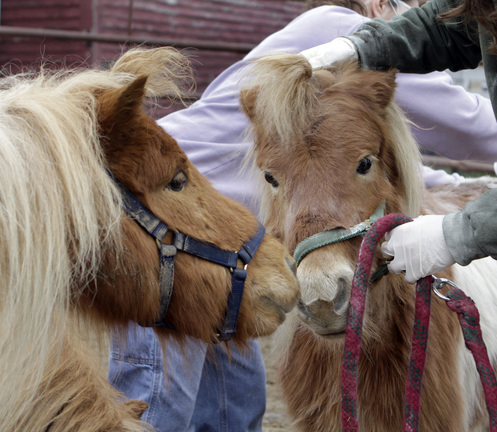 One of the 19 miniature horses checks in on another as it is treated for lice, ticks and fleas at the MSPCA at Nevins Farm in Methuen last month. The rescued animals have all found new homes.